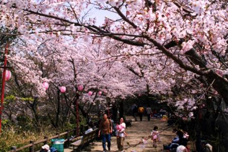 曲田山公園・桜
