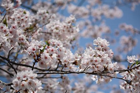 桜 アップ450x300.jpg