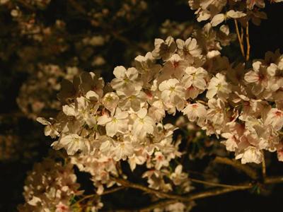 夜桜ツアー(写真はイメージです)