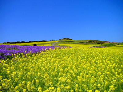 100万本の菜の花と青空のコントラスト