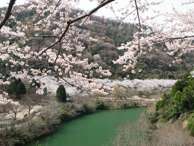 淡路島の桜2